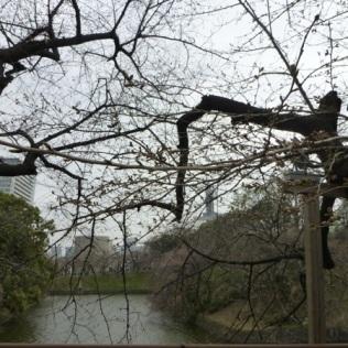 Chidorigafuchi before blooming