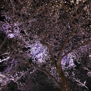 Sakura blossom at Chidorigafuchi