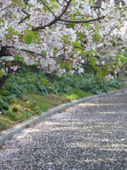 Sakura blossom at Higashi gyôen of Imperial palace