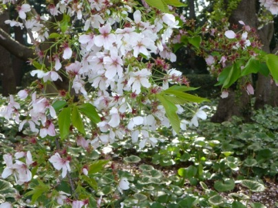 Sakura blossom at Higashi gyôen of Imperial palace