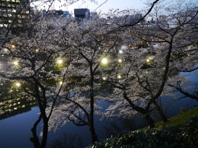 Sakura blossom at Kinatomaru kôen