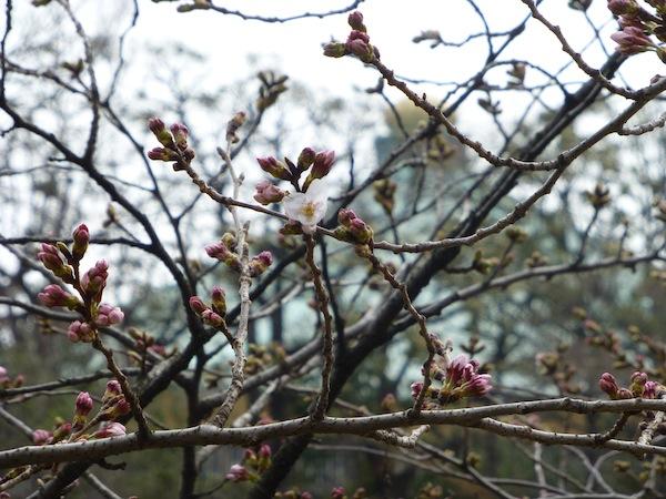 Petite fleur précoce, sur fond de Nippon Budôkan