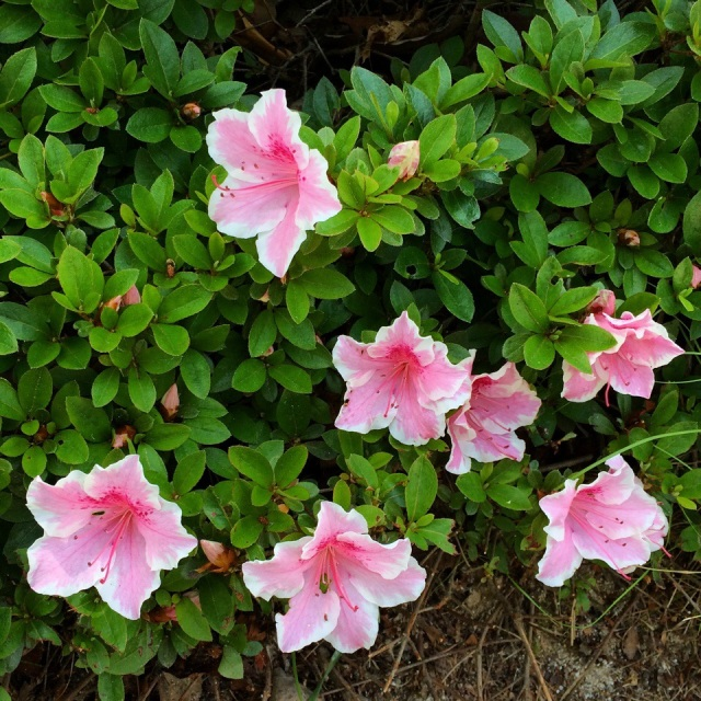 Azalée rose. Little pink flower at the top of the mountain