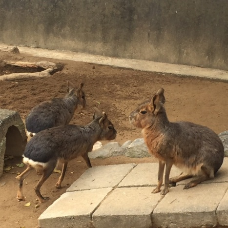 """何なんですか。初めて見たそういう動物!カピバラxうさぎちゃんみたいですね。「マーラ」って書いてあるんだけど…。 Première fois que je vois cet animal !!!! On dirait un capibara croisé avec un lièvre ! Apparemment on appelle ça un """"Mara"""" — at 和歌山公園動物園."""