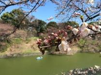 sakura-hanami-2015-chidorigafuchi-3