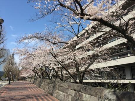 sakura-hanami-2015-diet-library-3