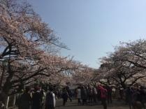sakura-hanami-2015-kitanomaru-1