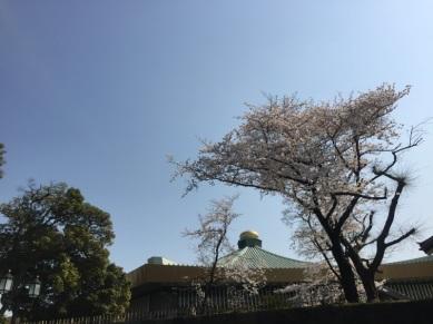 sakura-hanami-2015-kitanomaru--1