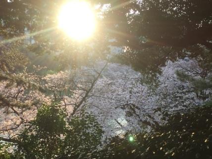 sakura-hanami-2015-kitanomaru---1