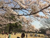 sakura-hanami-2015-kitanomaru--2