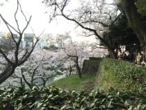 sakura-hanami-2015-kitanomaru---2