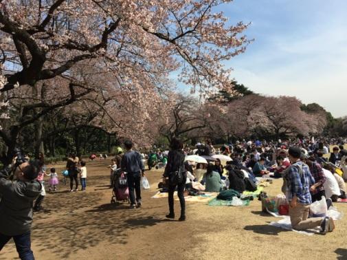 sakura-hanami-2015-shinjuku-gyoen-1