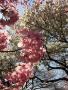 sakura-hanami-2015-shinjuku-gyoen-2