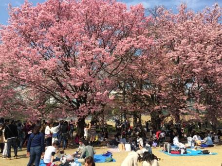 sakura-hanami-2015-shinjuku-gyoen-3