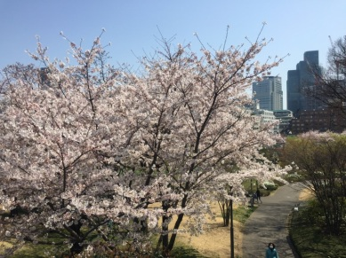 sakura-hanami-2015-tokyo-midtown-2