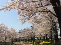 sakura-hanami-2015-tokyo-midtown-3