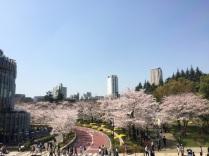 sakura-hanami-2015-tokyo-midtown-4