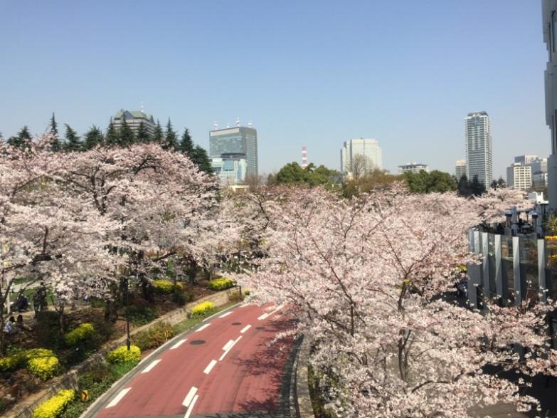 sakura-hanami-2015-tokyo-midtown-5