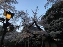 sakura-hanami-2015-yasukuni-3