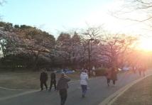 sakura-hanami-2015-yoyogi-3