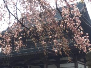 sakura-hanami-2015-zojoji-1