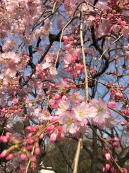 sakura-hanami-2015-zojoji-2