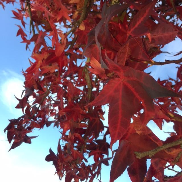 france-nantes-gaudiniere-platane-feuilles-rouges-2