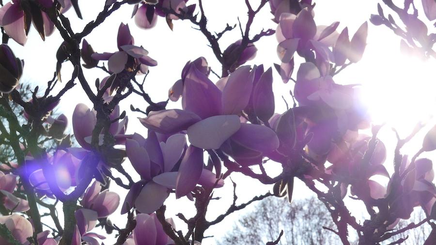 magnolia-beaujoire-printemps-2016-1